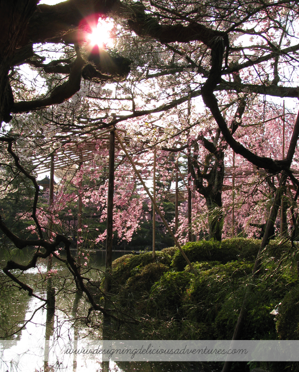 Cherry Blossoms Japan 5